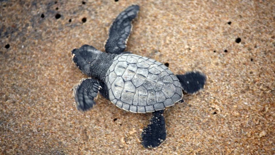 The arrival of more than half a million of turtles on Gahiramatha this year reflects decades of conservation work since sea turtles were put on the endangered species list and declared as a Schedule-1 animal. (Arabinda Mahapatra / HT photo)