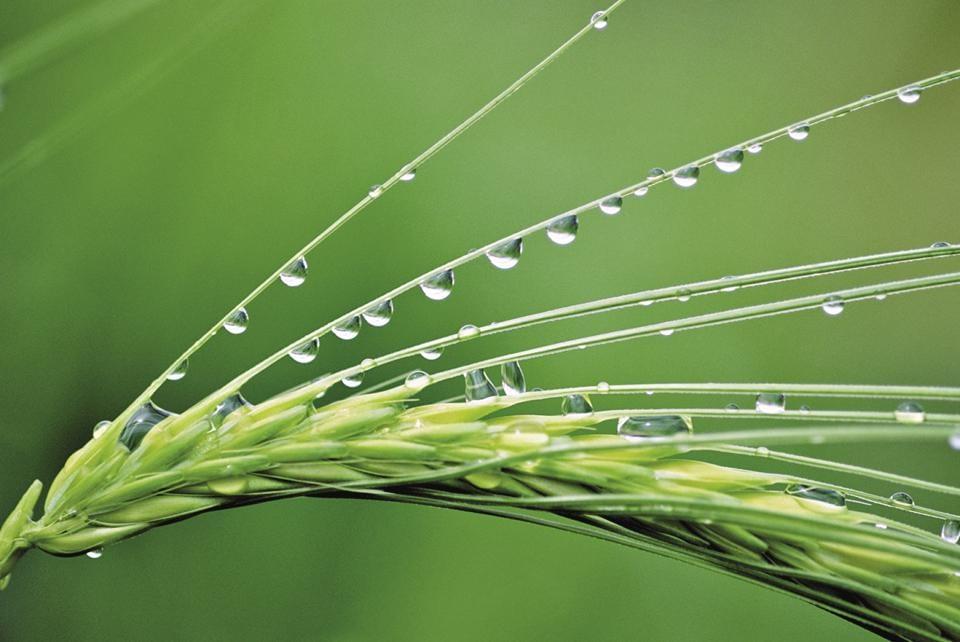 Barley is used for treating rheumatoid arthritis due to its anti-inflammatory effect