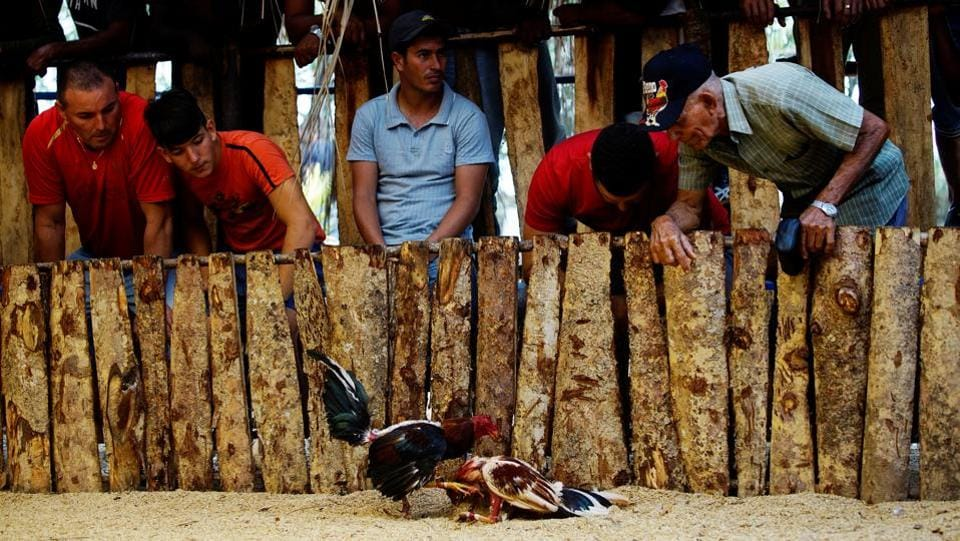 Cockfighting enthusiasts watch a fight at a cockfighting arena in Moron. (Alexandre Meneghini  / Reuters)