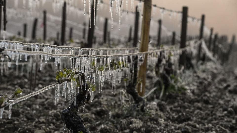 A view of Chablis vineyard hit by freeze in Chablis near Auxerre, northern France, as the frost damaged part of French vineyards and orchards.  A late spring frost that hit French vineyards is threatening the harvest in Champagne and Burgundy, winegrowers warn. (Philippe Desmazes/AFP)