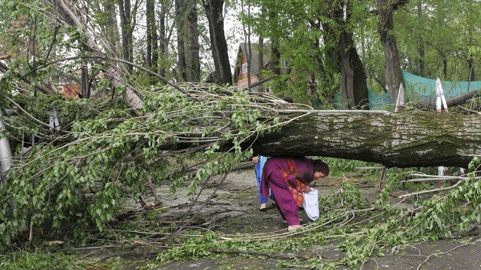 A fallen trees lies on ground after strong winds on the outskirts of Srinagar on Friday evening (Waseem Andrabi / HT)