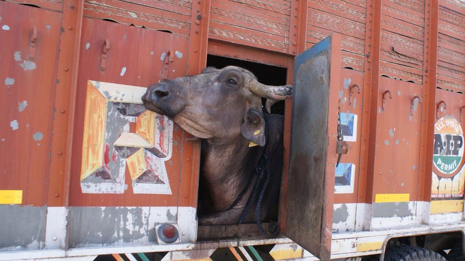 There is no ban on the slaughter of buffaloes in the country but cow  vigilante groups have meat traders on the edge.
