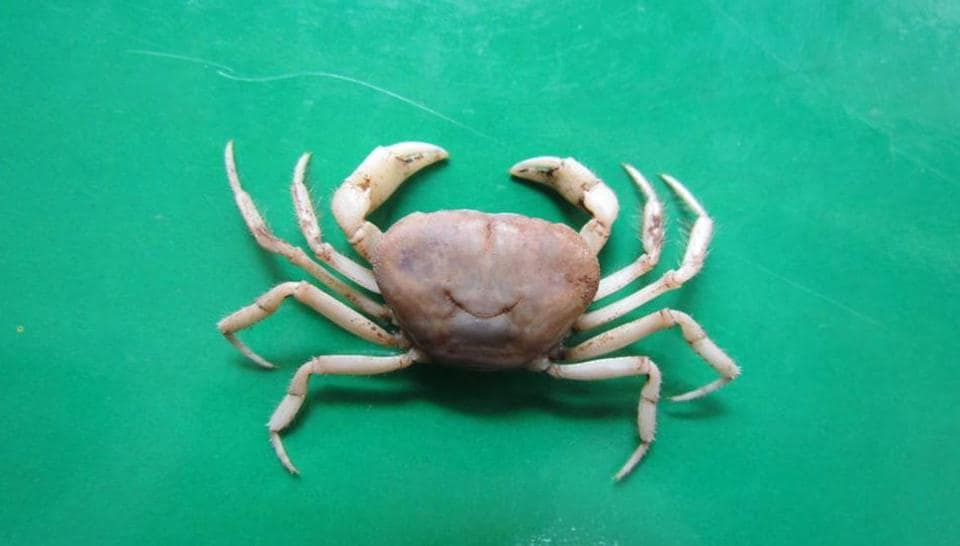 A picture of an albino crab found in a cave in Meghalaya.