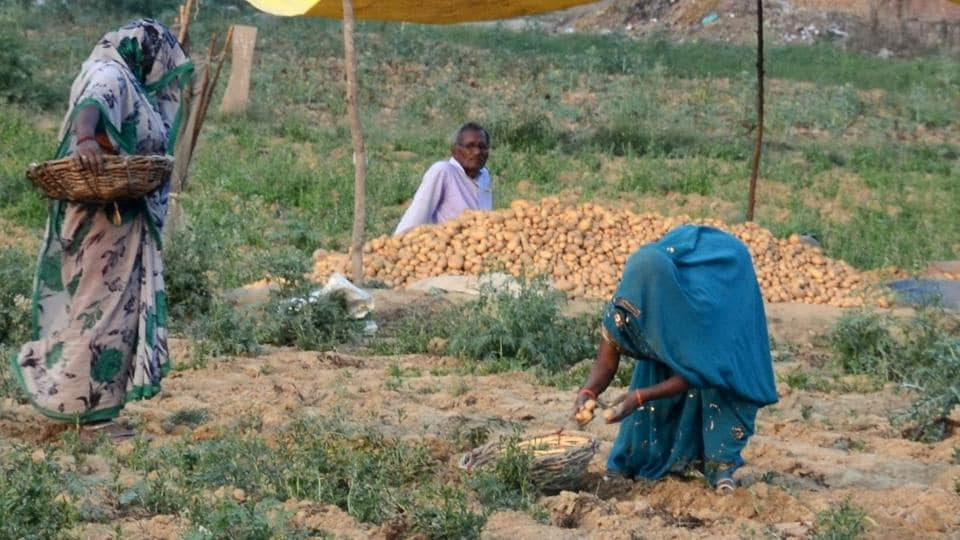 Farmers busy harvesting potato crop in a field in a village on the outskirts of Allahabad.