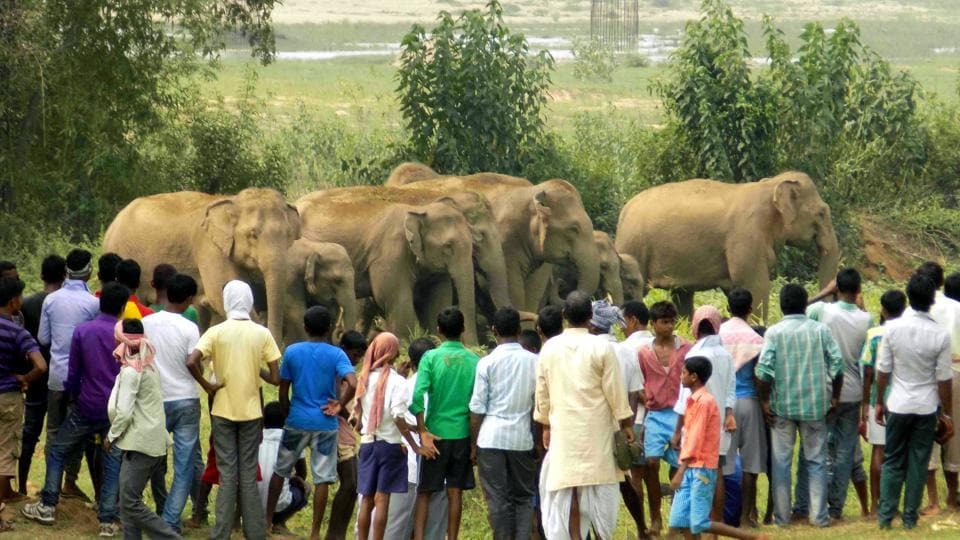 A herd of wild elephants surrounded by villagers at Sonahatu village in Ranchi district of Jharkhand.