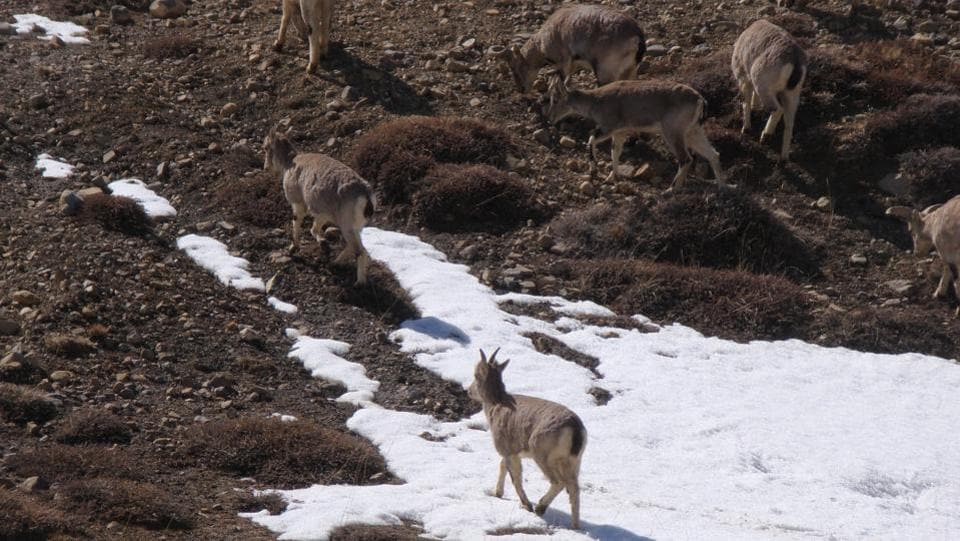 The Himalayan Blue sheep (Bharal) seen near  Komic Gompa. The sheep is a staple diet of the Snow Leopard. (Amandeep Singh Kalra)