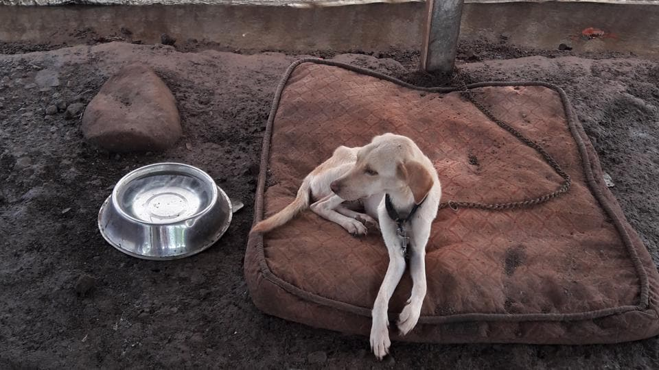 """This is a severely starved and undernourished Labrador at a Thane shelter. """"Labradors are known for being plump and healthy.  It took us four months to cure her,"""" said a member of the Thane SPCA, which rescued her."""