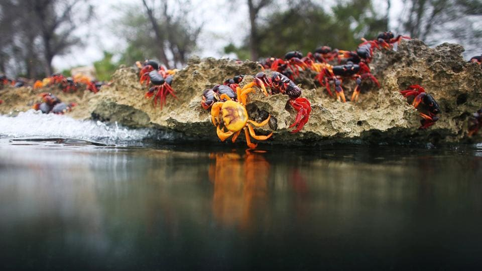 Crab migrations occur in other parts of Cuba at the same time of the year, as well as in some other special ecosystems. (Alexandre Meneghini / Reuters)