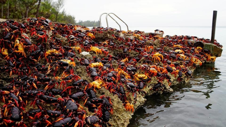 Crabs coming from the surrounding forests gather near the sea to spawn in Playa Giron, Cuba. (Alexandre Meneghini / Reuters)