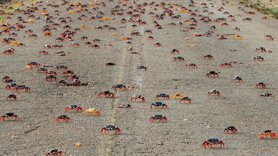 At the Bay of Pigs, the adult crabs return to their forest burrows after releasing clouds of eggs and are joined a couple of months later by the baby crabs which hatched at sea. (Alexandre Meneghini / REUTERS)