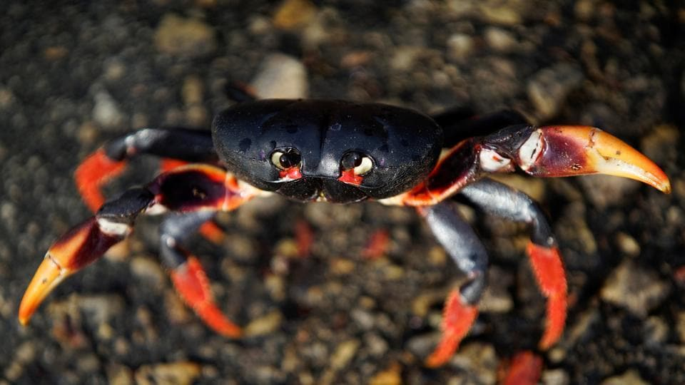 Each year, after the first spring rains, the crabs march for days from the surrounding forests to the bay on Cuba's southern coast to spawn in the sea, wreaking havoc along the way. (Alexandre Meneghini / Reuters)