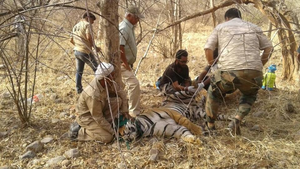 A radio collar being put on the tiger.