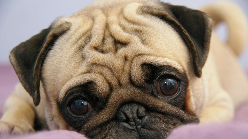 Pugs are sold anywhere between Rs25,000 to Rs50,000.