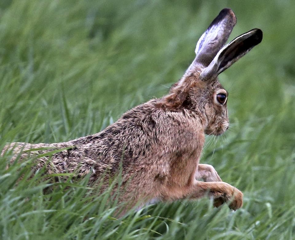 Ten-month-old Simon was expected to grow to become the world's biggest rabbit.