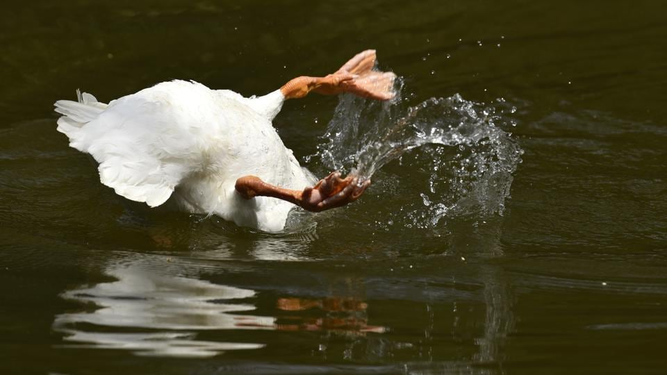A white swan takes a dive on a hot summer day at the Delhi Zoological Gardens near Purana Qila. (Burhaan Kinu/HT PHOTO)