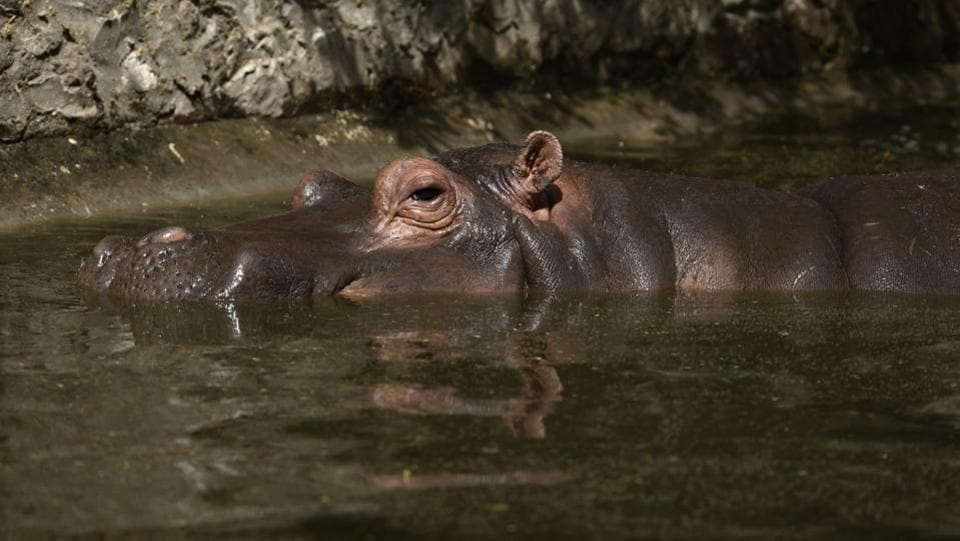A Hippopotamus cools itself under water for most of the day at the zoo enclosure. (Burhaan Kinu/HT PHOTO)