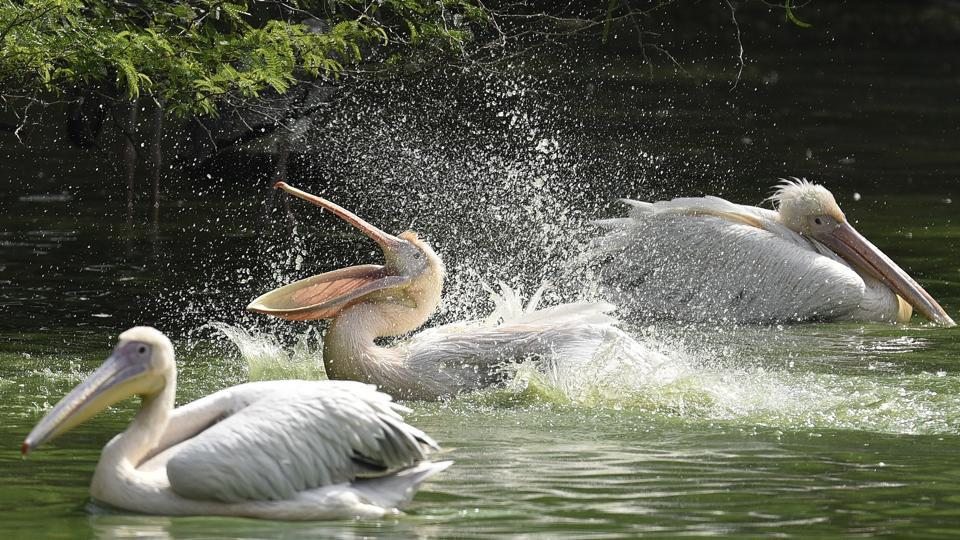 Rosy Pelicans spray water to get some respite from the harsh sun. (Burhaan Kinu/HT PHOTO)