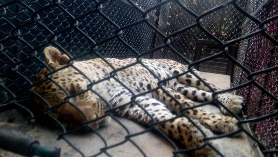 Leopard was carried to safety after it being tranquilled at around 2.30pm in Sohna village of Gurgaon.