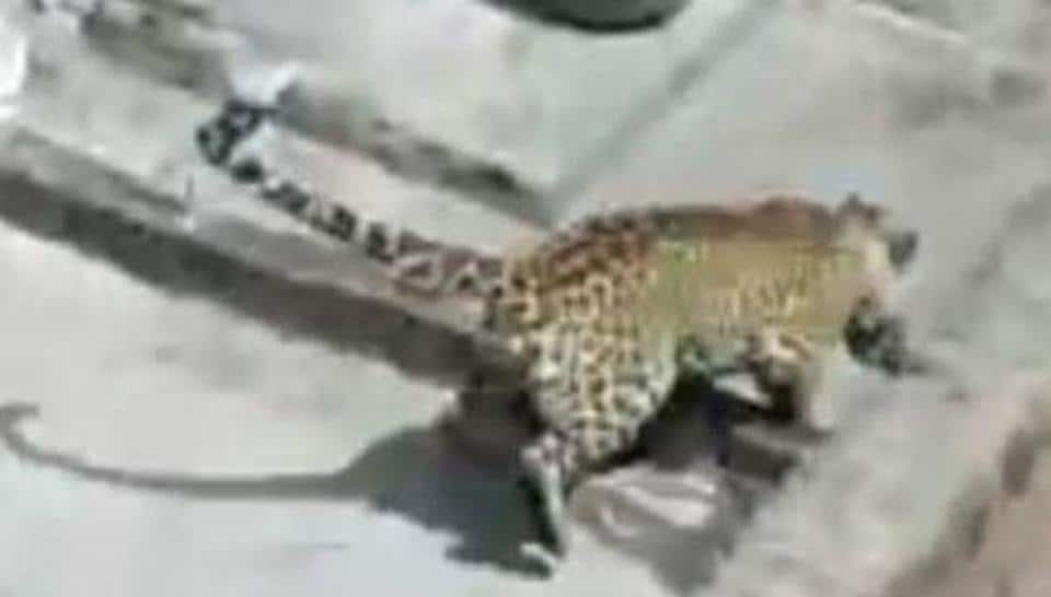 Leopard attack Sohna