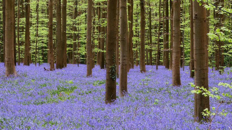 Huge swathes of the 555-hectare (1,370-acre) woodland are covered in millions of the delicate purple flowers for as far as the eye can see every April.