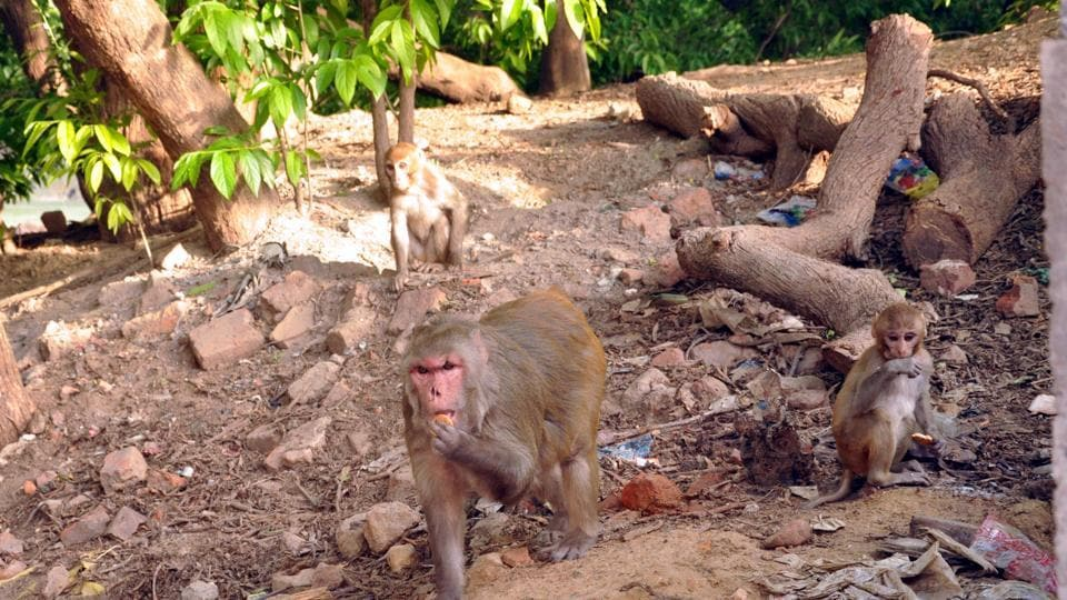 Monkeys allegedly kill a cow, terrorise people in Jharkhand villages