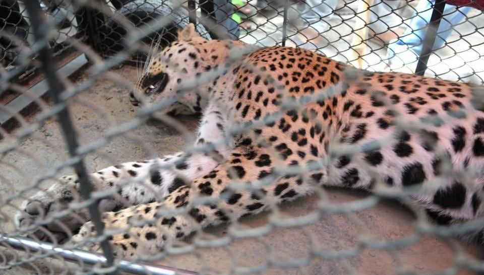 The leopard was tranquillised and caught at village in Sohna, near Gurgaon, after a five-hour standoff.