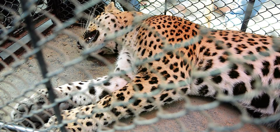 WII officials said the surge in the number of leopards is the reason for recent strayings and lynchings in the Aravallis.