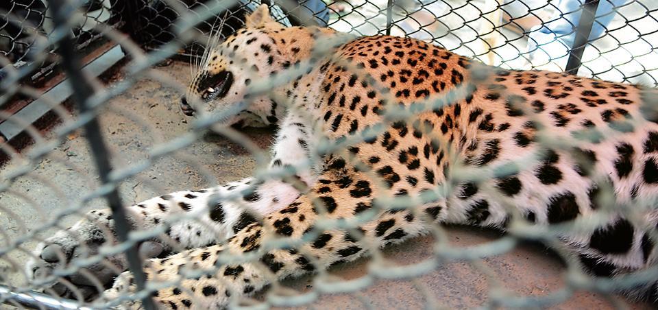 Leopard,wildlife,Aravalli hills