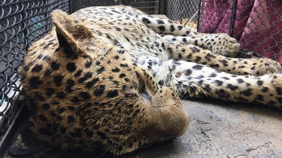 The leopard was caught after a five-hour drama at Durga Colony in Sohna, 25km from Gurgaon on Thursday.