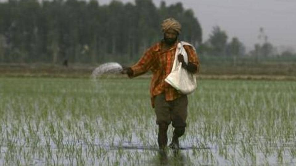 A farmer sprinkle fertilisers on a rice crop on the outskirts of Amritsar.