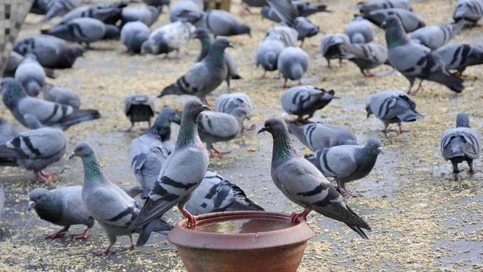 READYING FOR TAKE-OFF: A flock of pigeons gear up to beat the heat.  (Gurminder Singh/HT )