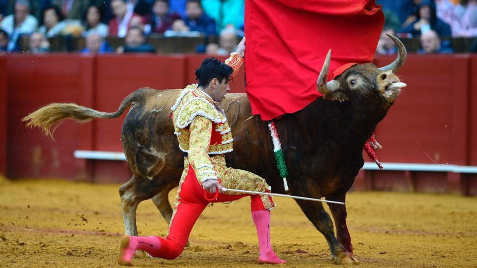 Spanish matador Lopez Simon kneels to perform a pass with muleta on a bull. (CRISTINA QUICLER / AFP)