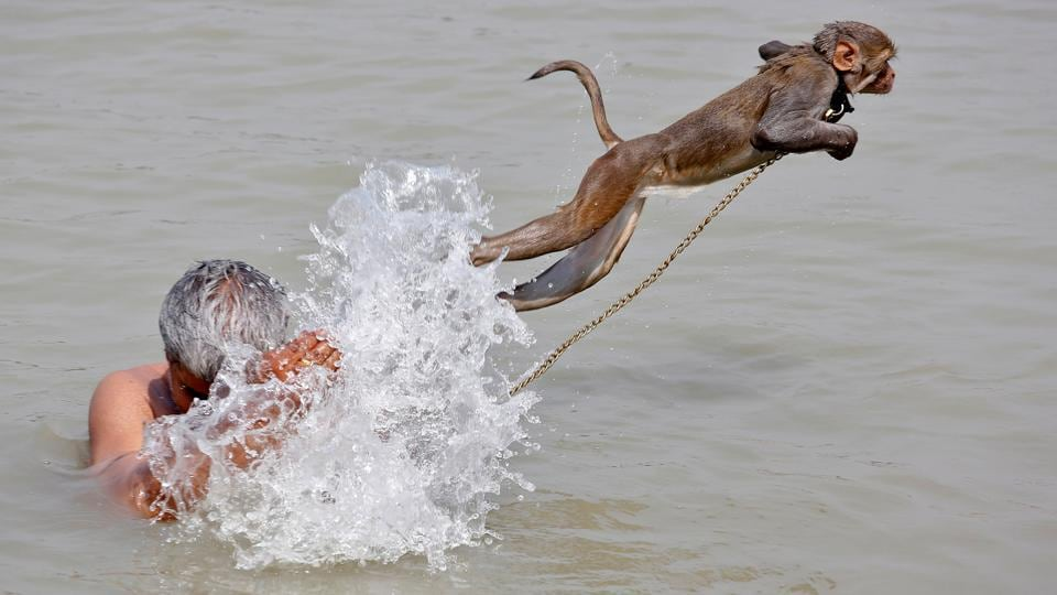 Ramu, a pet monkey, jumps as his handler bathes in the waters of the Ganges River, on a hot summer day, in Kolkata, India April 26, 2017. (Rupak De Chowdhuri  / REUTERS)