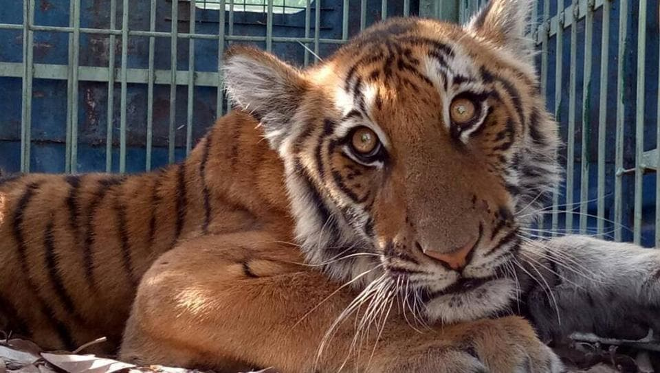 The 18-month old tigress that was rescued in Ramnagar.