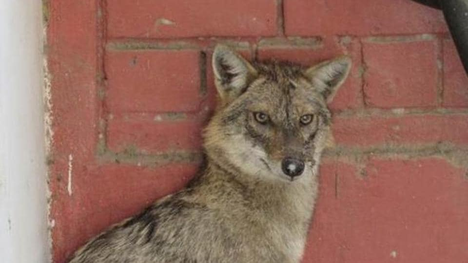 Shukla said he had spotted jackals in the area before, but they had never attacked him.