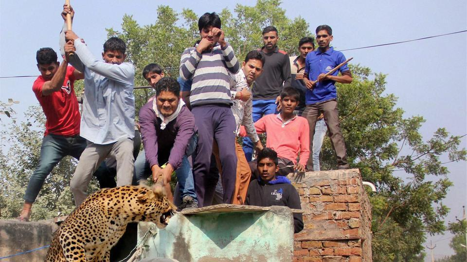 A two-and-half-year-old leopard was killed last November in Mandawar village near Gurgaon after it strayed into a human habitat.