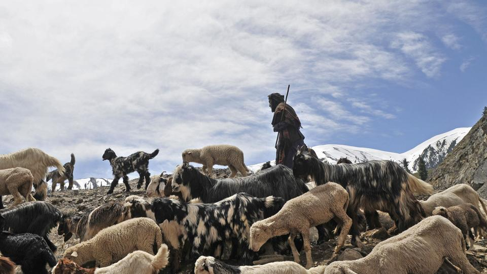 A member of the nomadic Gujjar-Bakarwal community with his flock of sheep and goats cross a road in the mountains through the famed Mughal Road. (Waseem Andrabi /HT Photo)