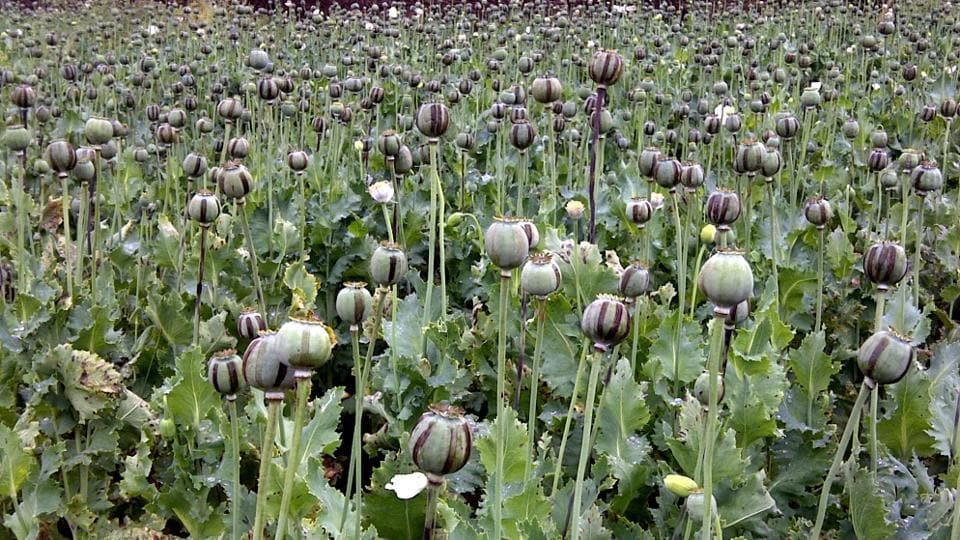 Crop of Poppy cultivation in full bloom at Balumath in Palamu