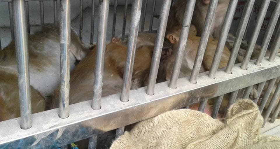 The monkeys caught at Ara in Bihar's Bhojpur district by a team from Patna-based Sanjay Gandhi Biological Park.