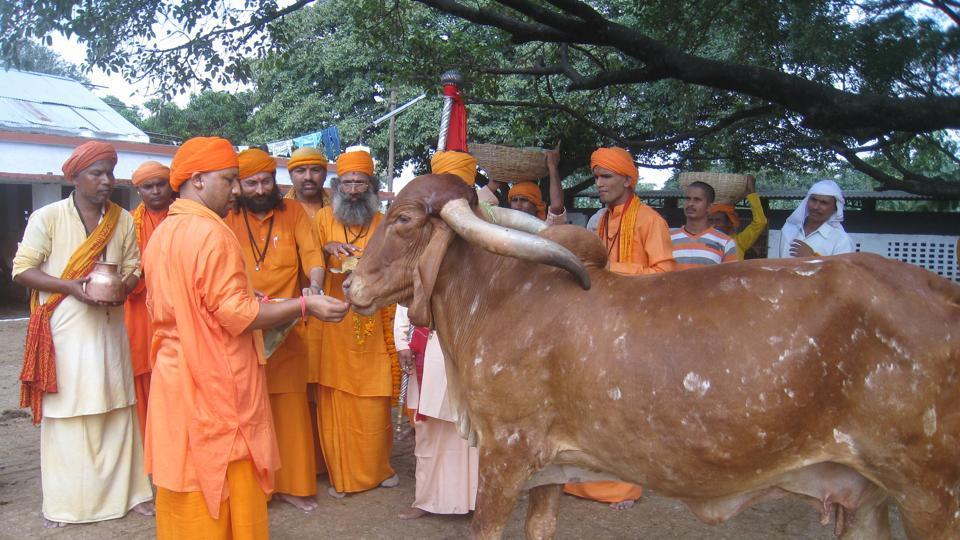Uttar Pradesh chief minister Yogi Adityanath feeds a cow at the shelter in Gorakhpur.