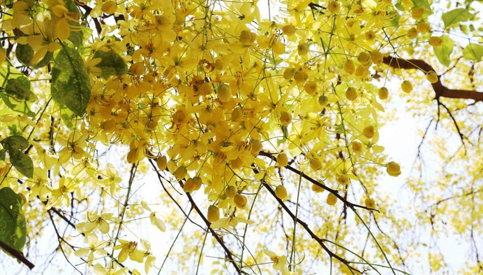 Not many people might know that the giant Amaltas at Teen Murti Bhavan, where Mrs Gandhi lived with her father, Jawaharlal Nehru, was planted by her younger son Sanjay.