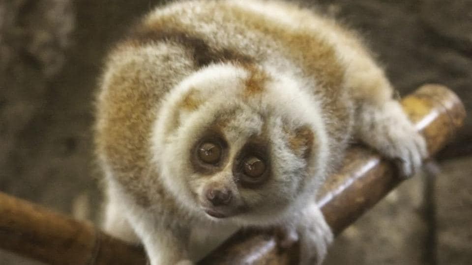 The slow loris was rescued at Delhi's Indira Gandhi International (IGI) airport. The lone primate, around 6-7 inches tall and weighing around 200 grams, is in the 2X1.5 feet cage at Delhi zoo for the last two years.