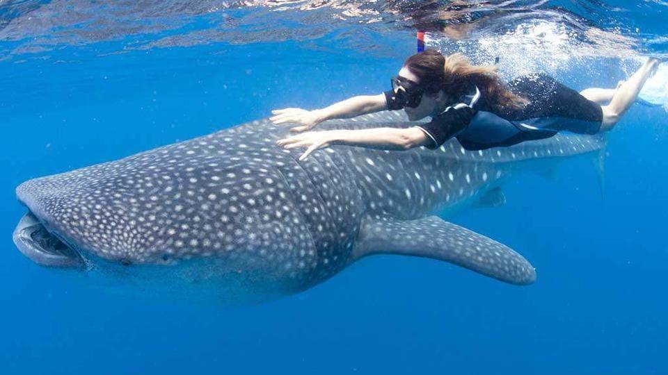 Whale shark is an endangered species.