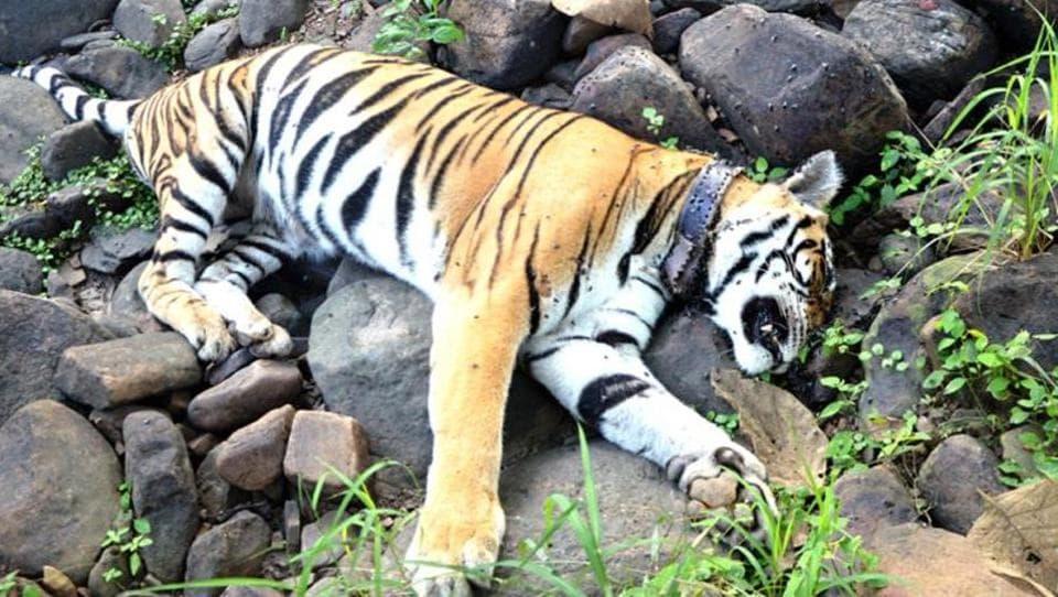 tiger,Satpura tiger reserve,Madhya Pradesh