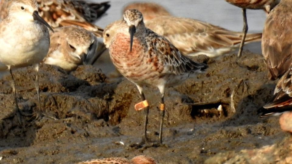 A ringed Curlew Sandpiper.