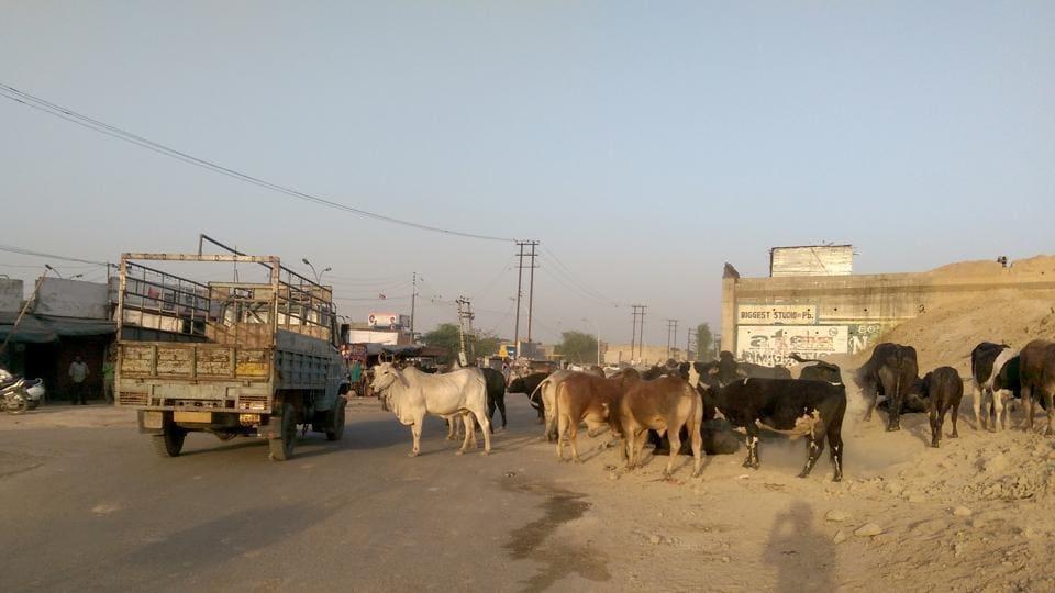 stray cattle menace,garbage dumps,Moga