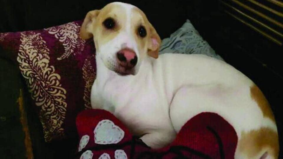 Gurgaon,pet dog,Rexy