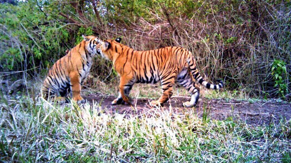 Tiger,Tiger conservation,Rajaji Tiger Reserve