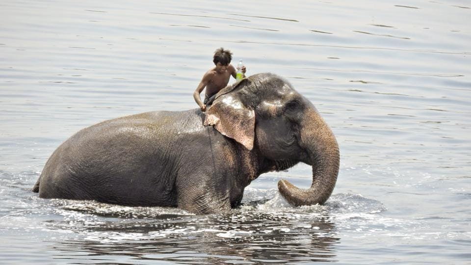 An elephant and his mahout take a dip in the  river Yamuna. (Anmol Wahi/HT Photo)