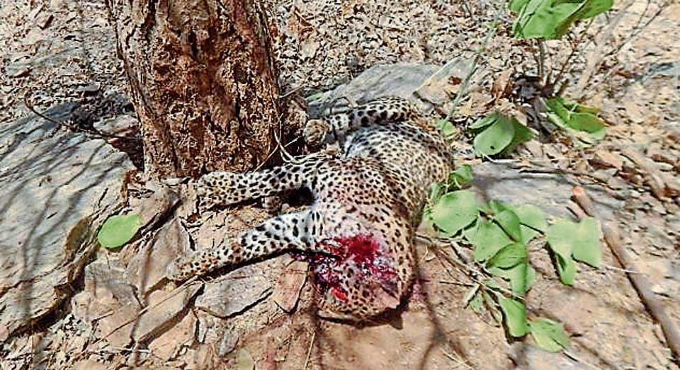 The leopard that was killed at Bal Badar village in Dungarpur district of Rajasthan.